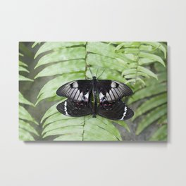 Mating Swallowtail Butterfly Metal Print