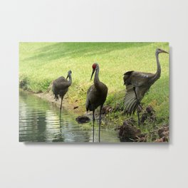Sandhill Cranes on the Shore of a Lake Metal Print