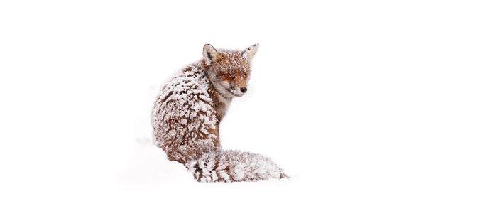 A Fox Fantasy (Red Fox in the snow)  Coffee Mug