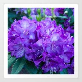 Majestic Purple Rhododendron Art Print