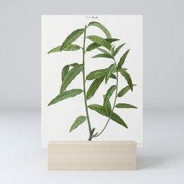 Basket willow, Salix viminalis from Traité des Arbres et Arbustes que l'on cultive en France en plei Mini Art Print