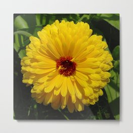 Holligold Blossoming Yellow Pot Marigold Flower  Metal Print