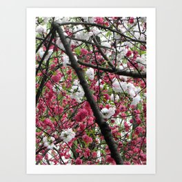 In Full Bloom | Hangzhou, China Art Print