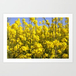 rapeseed in the field Art Print