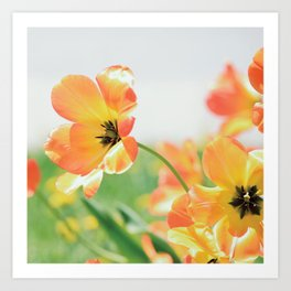 Bright Orange Tulips in Sunlight Art Print