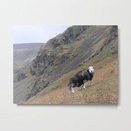 Herdwick Sheep Metal Print