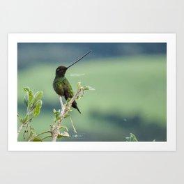 Sword-billed Hummingbird, in Ecuador highlands Art Print