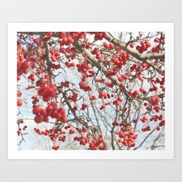 Choking Cherry Tree Photograph Red Berries with Blue Sky Art Print