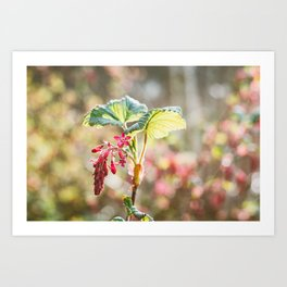 Flowering Currant Art Print
