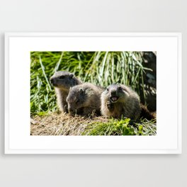European Alps - Marmot family Framed Art Print