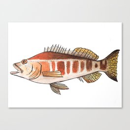 Blacktail Comber: Fish of Portugal Canvas Print