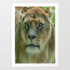 Lioness Female Lion 2 Art Print