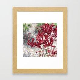 Red Kangaroo Paw Framed Art Print