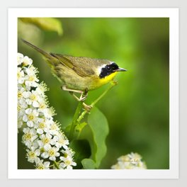 Common Yellowthroat Warbler Art Print