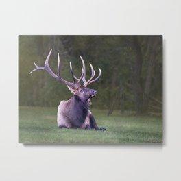 Elk at Rest Metal Print