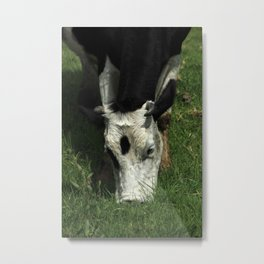 Black and White Cow Grazing Metal Print