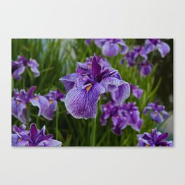 Garden Party (irises) Canvas Print