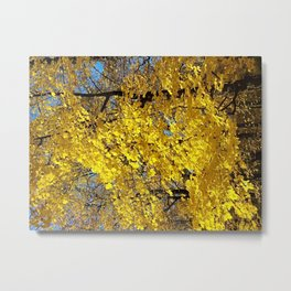 Golden fall maple trees and leaves Metal Print
