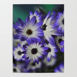 Blue & White Daisy Flowers #1 #floral #decor #art #society6 Poster