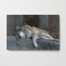 Sleeping Wolf Metal Print