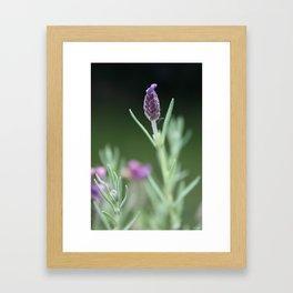 Lavendel Framed Art Print