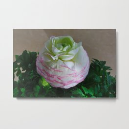 White and Pink Ranunculus Metal Print