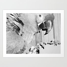 Parrots, birds, sanctuary, winged angels, animals, feathered friend, feathered companion, rescue Art Print