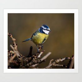 Blue tit (Cyanistes caeruleus) Art Print