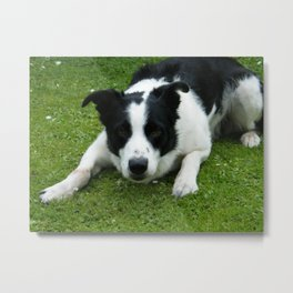 Border Collie - Ready to Pounce. Metal Print