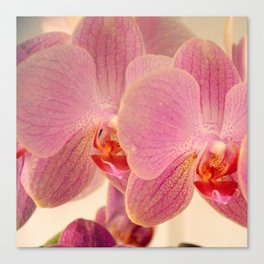 Triplet pink orchids  Canvas Print