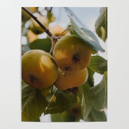 Green Apples on a Tree Poster