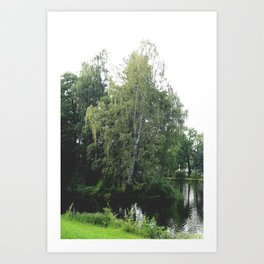 Large white birch on the shore of a reservoir with a dangling leaf crone Art Print