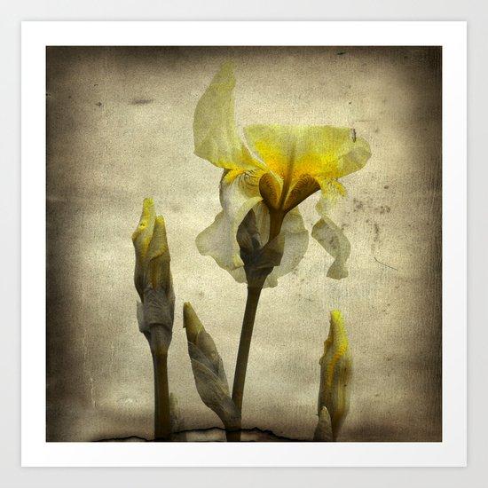 A Yellow Iris Art Print