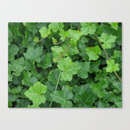Creeping Ground Cover Canvas Print