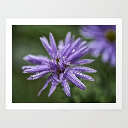 Aster with water drops Art Print
