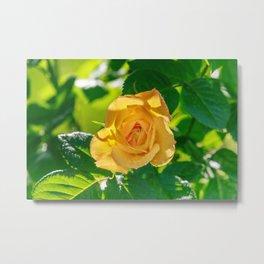 Gold rose Metal Print