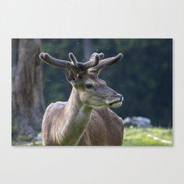Deer in lower Austria Canvas Print