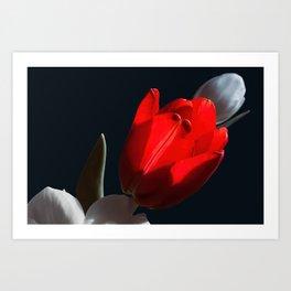 Red tulip in light Art Print