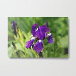 Blossoming Iris on a blurred green background. Metal Print