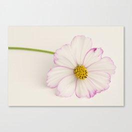 Sensation Cosmos Single Bloom Canvas Print
