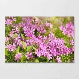 Phlox subulata pink flowering Canvas Print