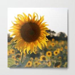 Sunflower garden. Metal Print