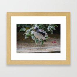 National Aviary - Pittsburgh - White Headed Wattled Lapwing Framed Art Print