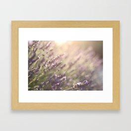 Lavender flowers during sunset in Provence, France Framed Art Print