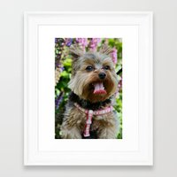 yorkie Framed Art Prints featuring Happy Yorkie by IowaShots