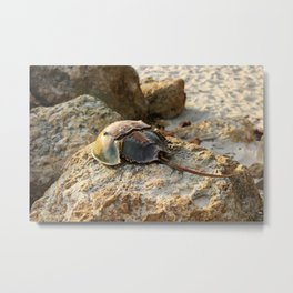 Horseshoe Crab Metal Print