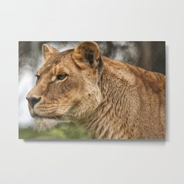 Josie the Lioness Metal Print