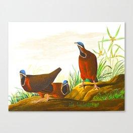 Blue-headed Pigeon Canvas Print