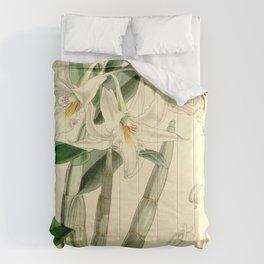 Dendrobium draconis (as Dendrobium eburneum) Curtis' 90 (Ser. 3 no. 20) pl. 5459 (1864) Comforters