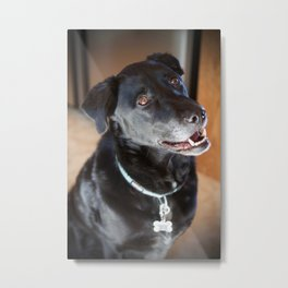 Labrador and Blue Heeler Dog Metal Print